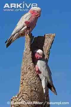 galah-pair-at-nesting-hole-in-dead-tree