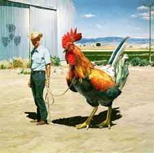 images man walking chicken