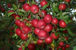 410x273_apple_orchards_01