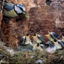 Blue tit (Parus caeruleus) brings food to begging chicks in nest, UK