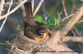 American-robin-on-nest-incubating-eggs
