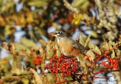 BIRD_American-Robin-feeding@BRP-