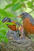 bird_nesting_2-331x500