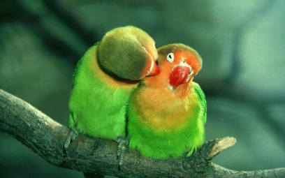 love_birds_green_parrot