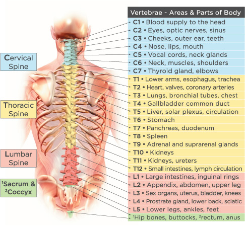 spinaldiagram?w=733&h=677 god's pharmacy foods god's hotspot Basic Electrical Wiring Diagrams at gsmx.co