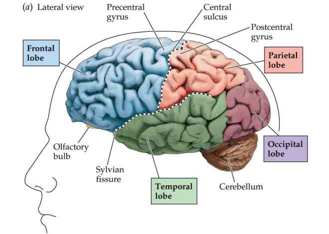 Lateral-view-of-the-brain