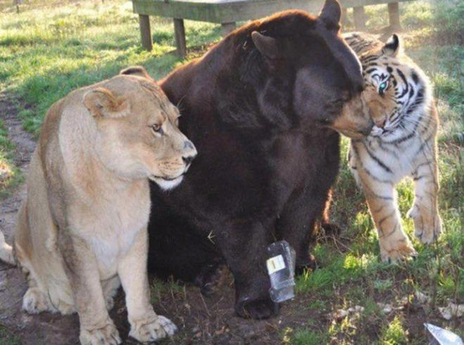 lion-tiger-bear-unlikely-friendship-2