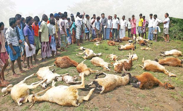 goats-dead