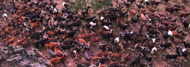 Goats-on-IsabelaProjectIsabela.GNPS_