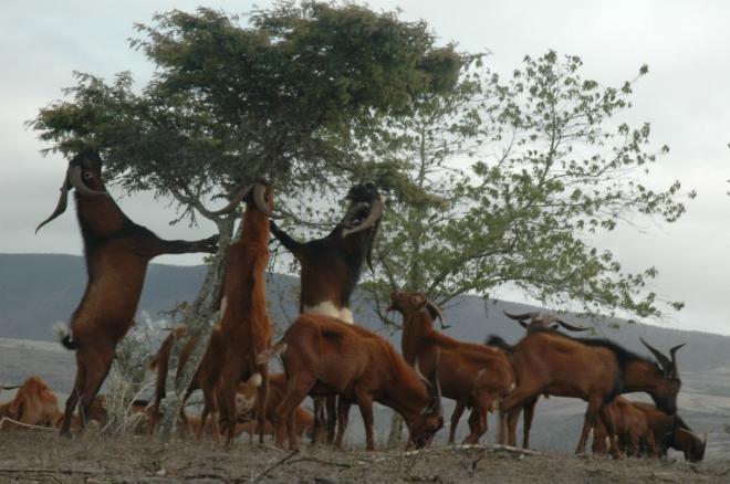 Goats_Alcedo_Josh