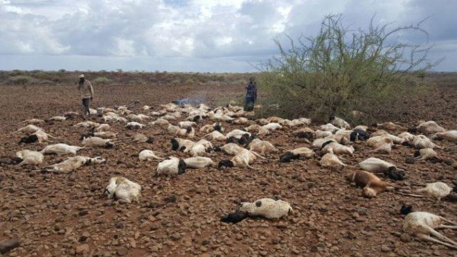 Livestock-Perish-Due-To-Floods-in-Dukana-696x392