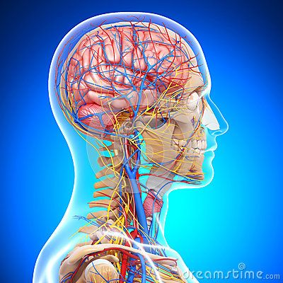 9168aeac1ee281064970bb5e4281989f--circulatory-system-neurons