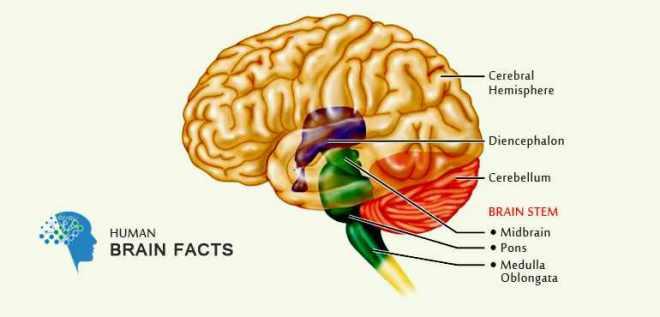 basic-information-about-brain