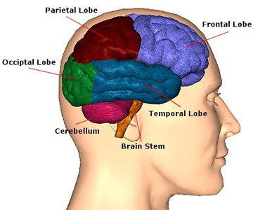 Brain-lobe-diagram
