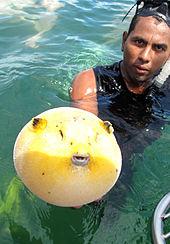 Puffer_fish_-Costa_Rica-8