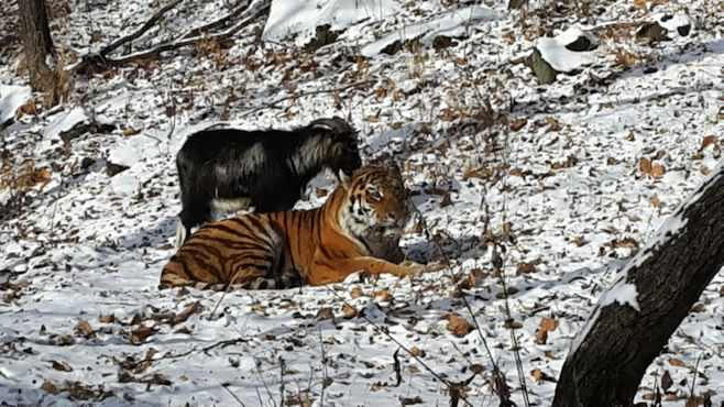 tiger-goat-friends