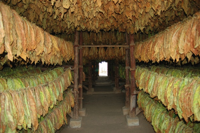 Tobacco_drying_in_Pinar_del_Río_(01).jpg